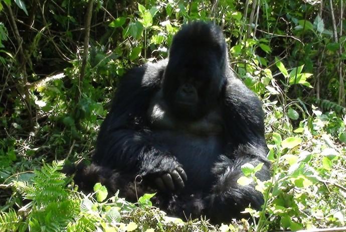 Gorila Macho de Frente