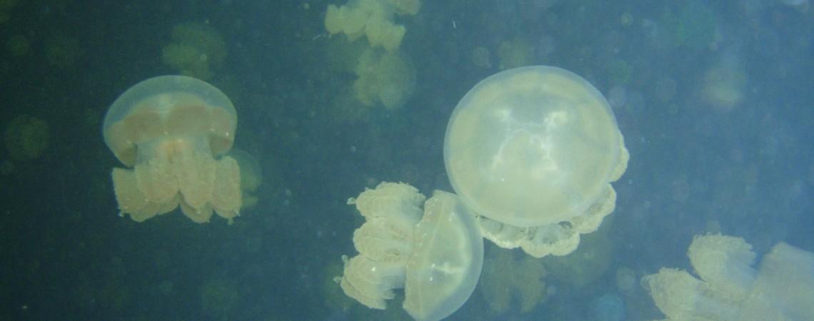 PALAOS: ¡¡Entre Medusas!!