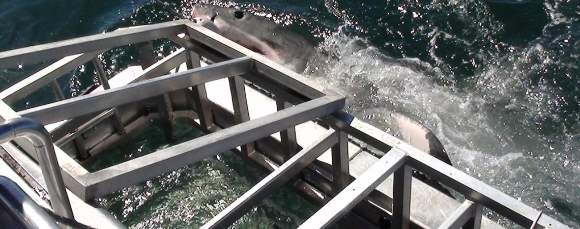 SUDÁFRICA: ¡Reino del Gran Tiburón Blanco!